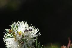 Native bee on Melaleuca lanceolata