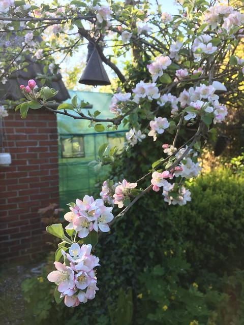 Holle appelboom vol in bloei