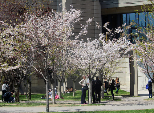 Robarts Blossom Alley