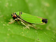 Green Leafhopper