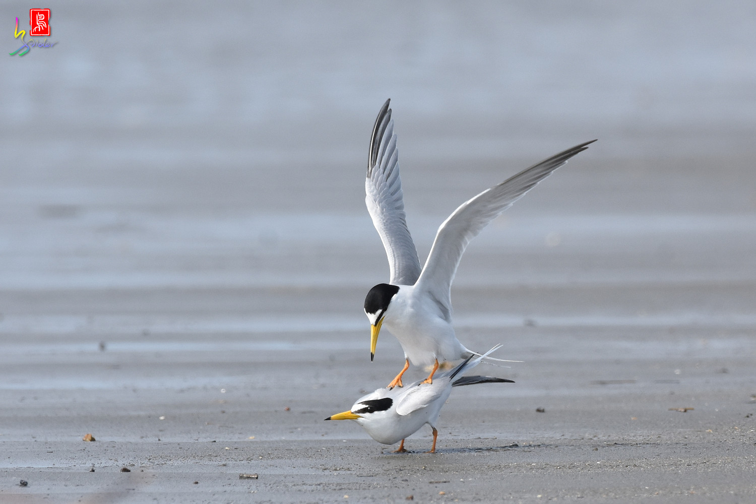 Little_Tern_4440