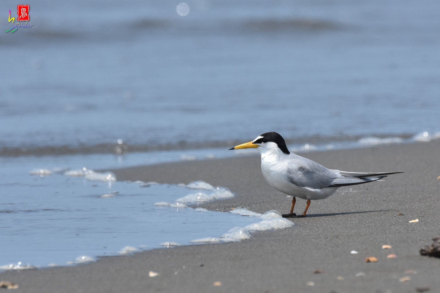 Little_Tern_4955