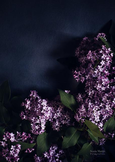 Lilas sobre fondo oscuro