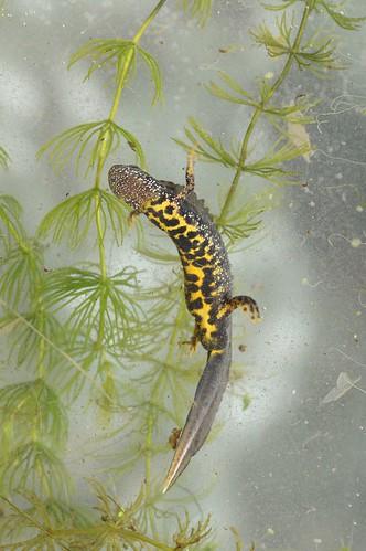 Rescued!  Great crested newt (Triturus cristatus) 1 of 3 images