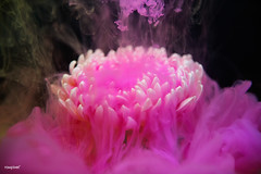 Abstract pink color drop to the water flower shape