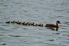 canard nette rousse lac de creteil Red-crested Pochard duck IMG_3876