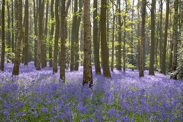 20180507_Austy Wood Bluebell Walk