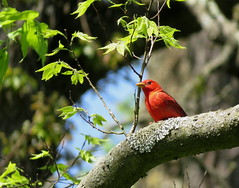 Summer Tanager/ Shawnee Lookout/ 5-8-2018