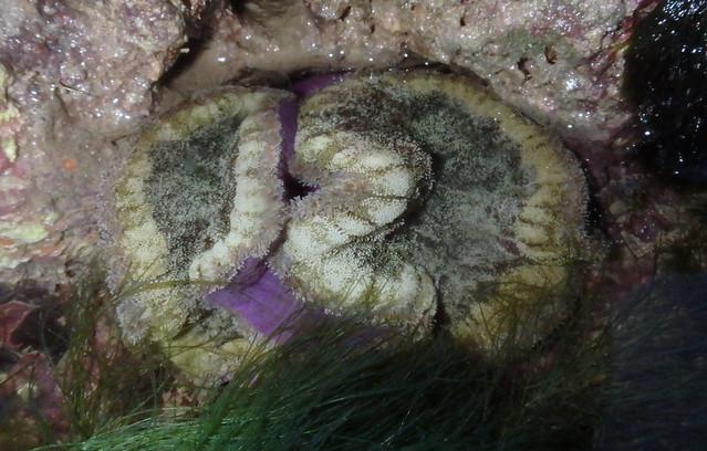 Pizza anemone (Cryptodendrum adhaesivum)