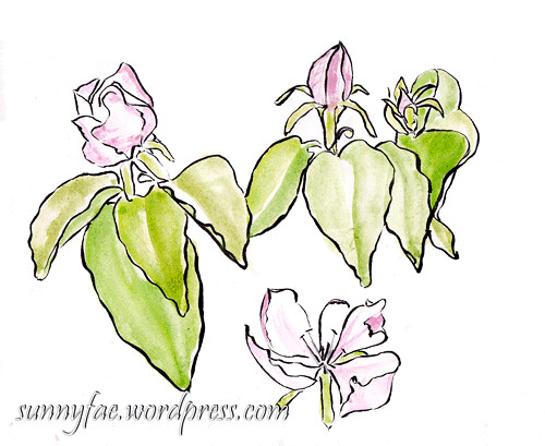 quince flower sketch