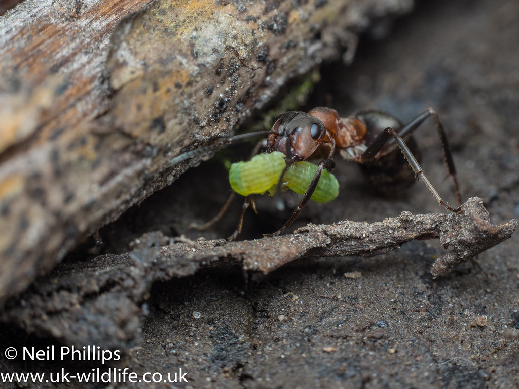 wood ant and caterpillar