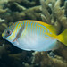Small photo of Barred rabbitfish (Siganus doliatus)