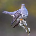 Colin the Cuckoo 3.5.18