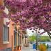Cherry Blossom Season by JMS2