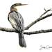 Female Anhinga by Jeff Clow