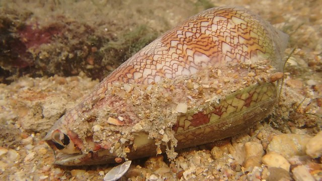 Cone snail (Family Conidae)