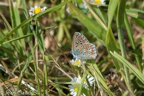 Polyommatus icarus ♀ - L'azuré commun