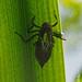 Libellula Quadrimaculata  P5203273revs