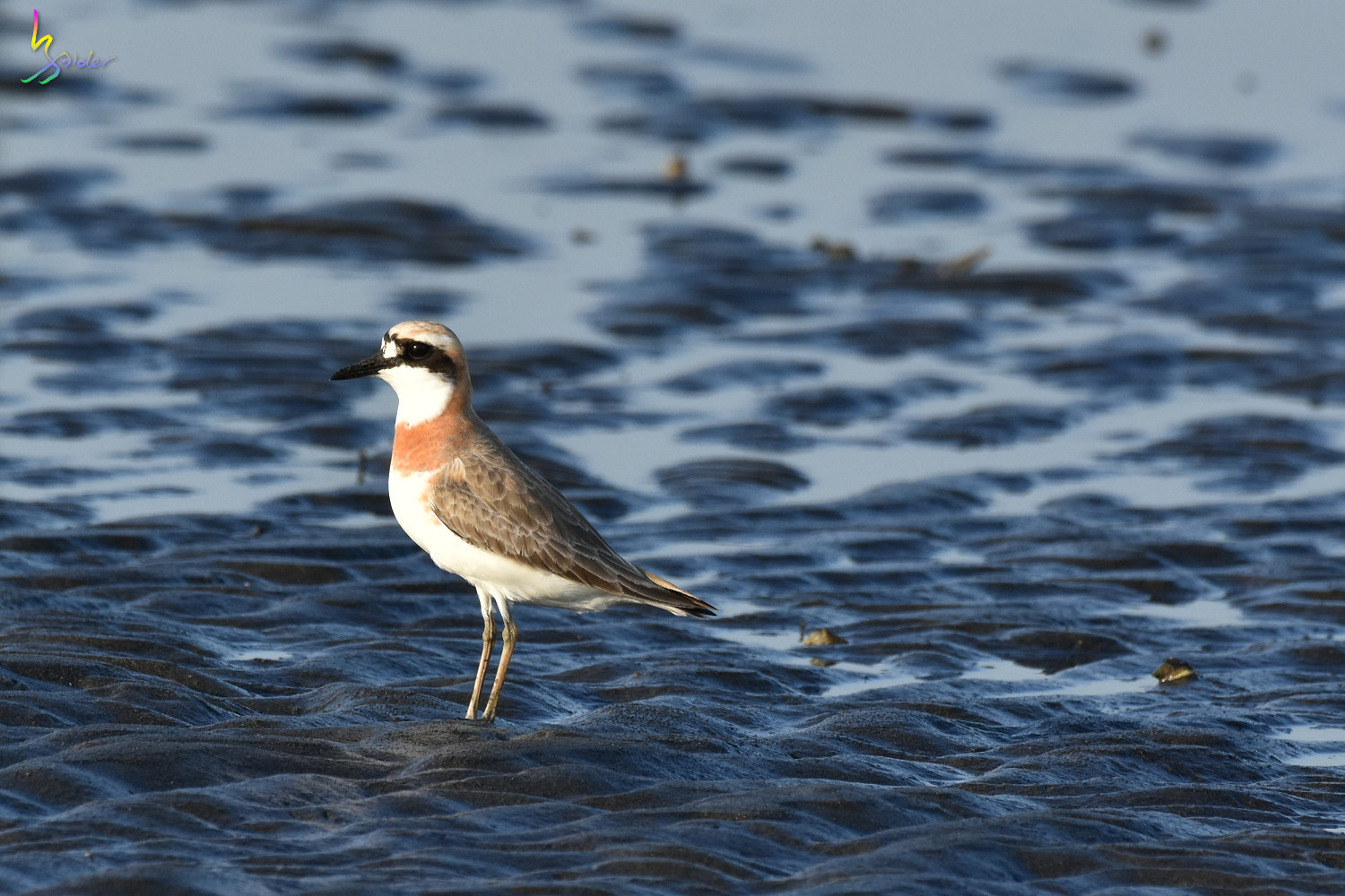 Greater_Sand_Plover_2035