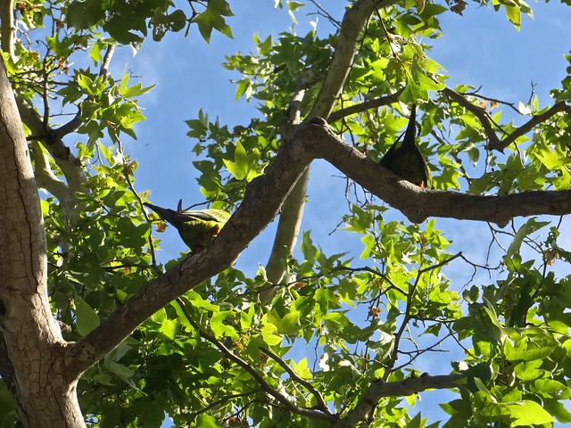 wild parrots in solstice canyon
