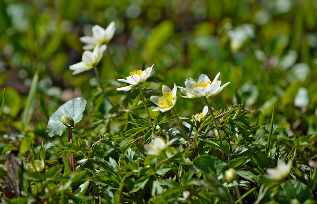 HAPPY WEEKEND! 🌷 Beautiful spring! 🌷 Anemone nemorosa #Finland #Helsinki