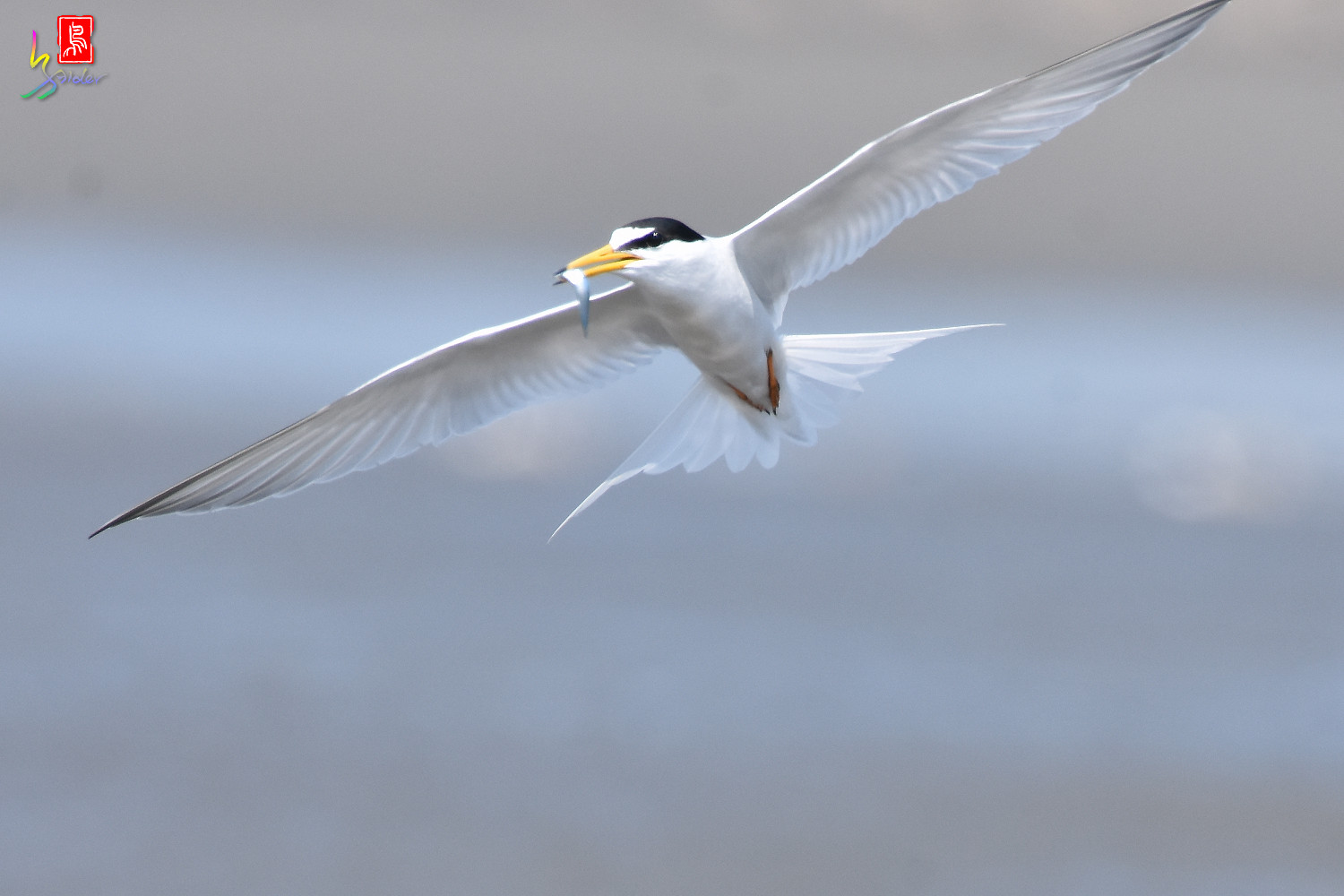 Little_Tern_8848