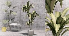 hive // mass cane plant | kustom9