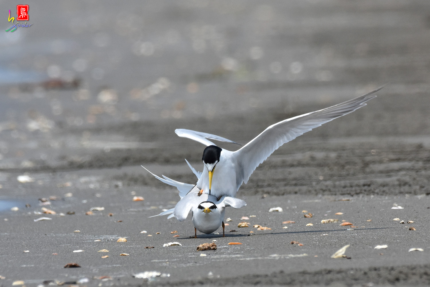 Little_Tern_4873