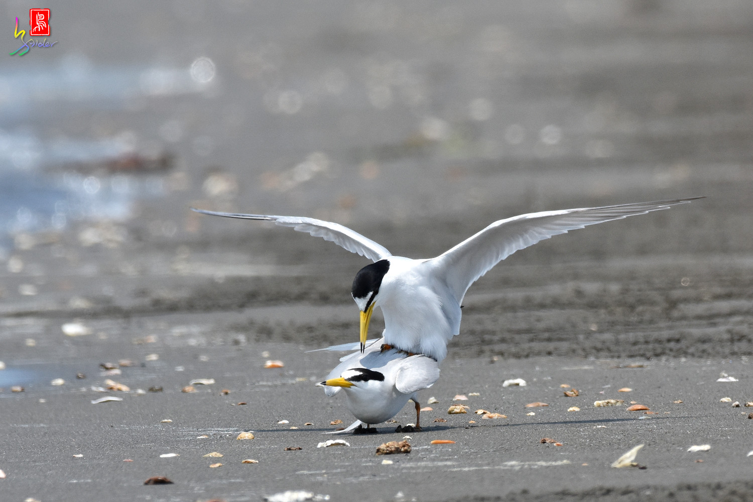 Little_Tern_4877