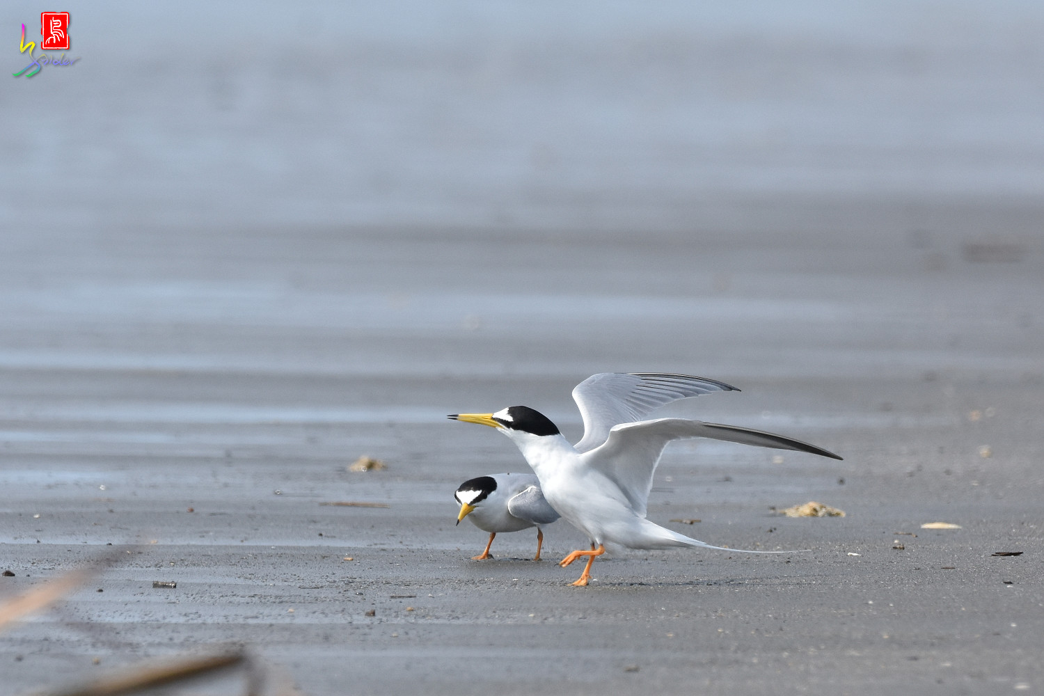 Little_Tern_4361