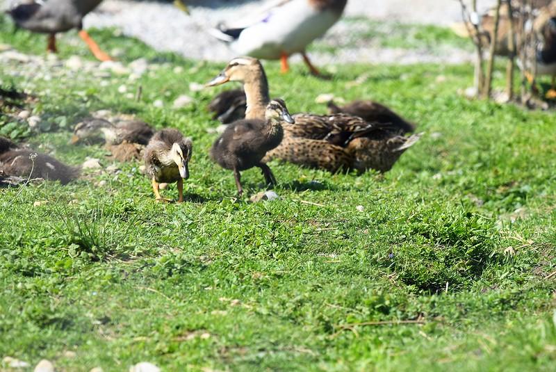 Ducks 20.05 (10)