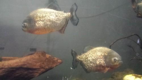 Piranha, Tokiwa Park, Ube