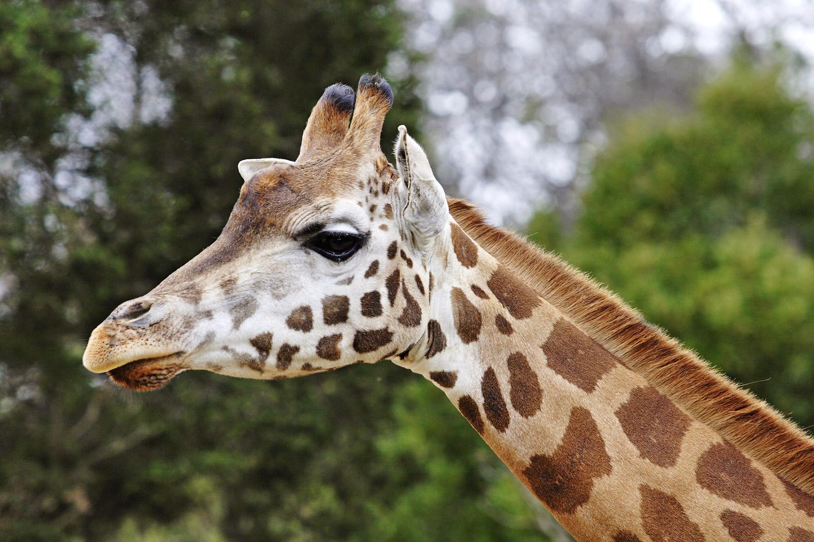 Closeup of the head of a giraffe (Giraffa camelopardalis), at the Melbourne Zoo, Australia.