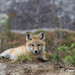Red Fox kit by Anne Marie Fraser