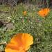 California Poppy/Eschscholzia californica
