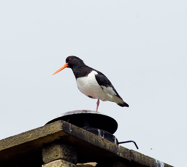 Oyster Catcher at Findhorn