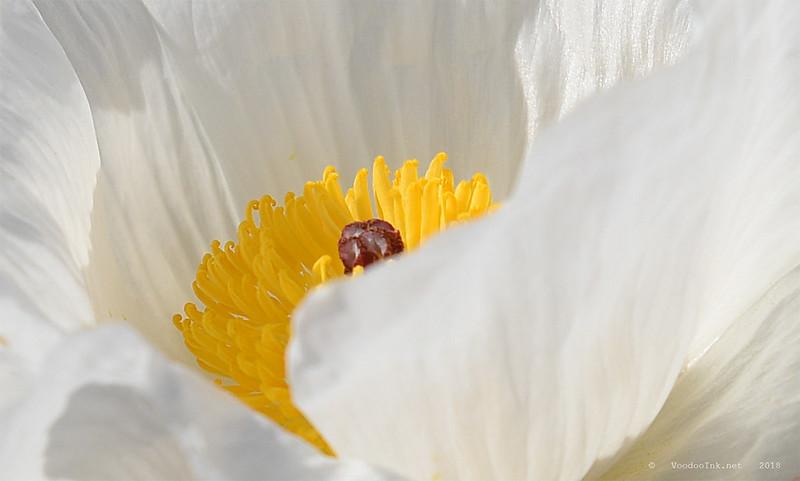 Desert Rose Poppy