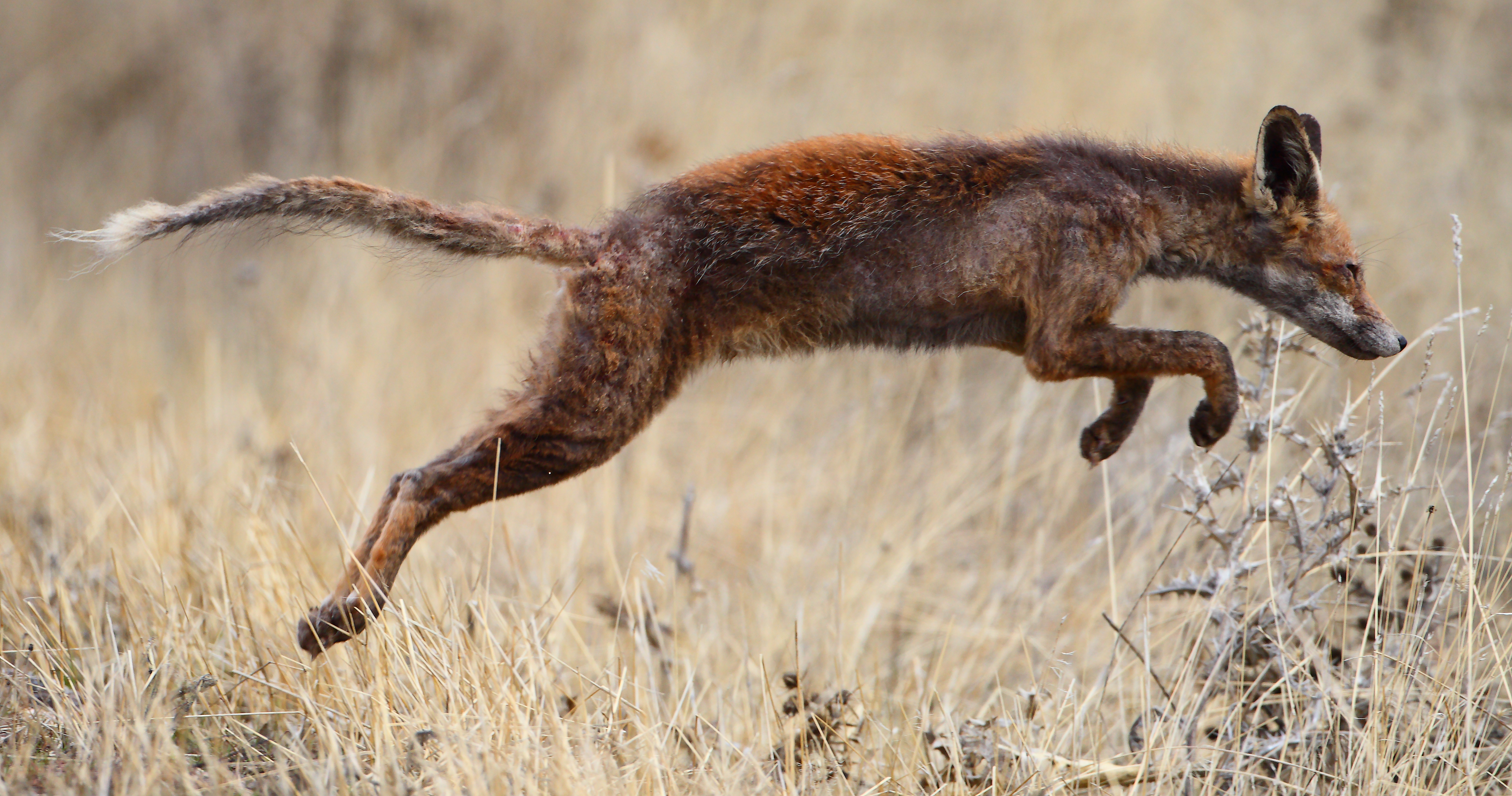 Red Fox, Zorro, affected by Sarcoptes scabiei (mange). Photo taken on December 3, 2011.