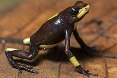 Harlequin Poison Frog (Oophaga histrionica)