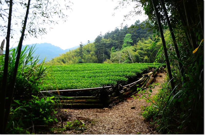 瑞太古道茶園 1