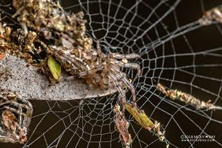 Trashline orb weaver (Cyclosa sp.) - DSC_6539