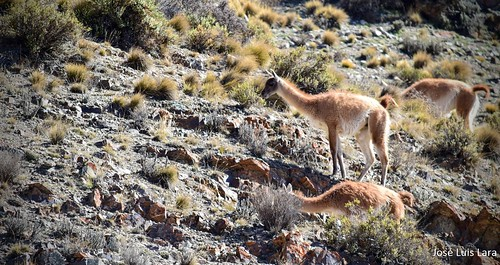 El guanaco en su habitat