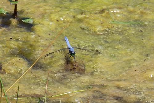 IMG_12070_Eastern_Pondhawk_Dragonfly