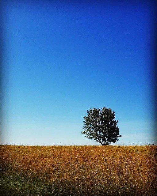 Single tree. Sometimes in WNY I feel like I'm someplace in the Midwest. #KnoxFarm #eastaurora #wny #summer #trees #nature