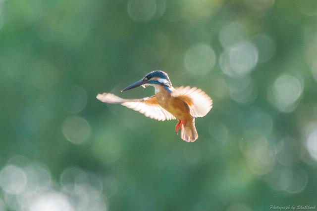 20180714-kingfisher-DSC_6139