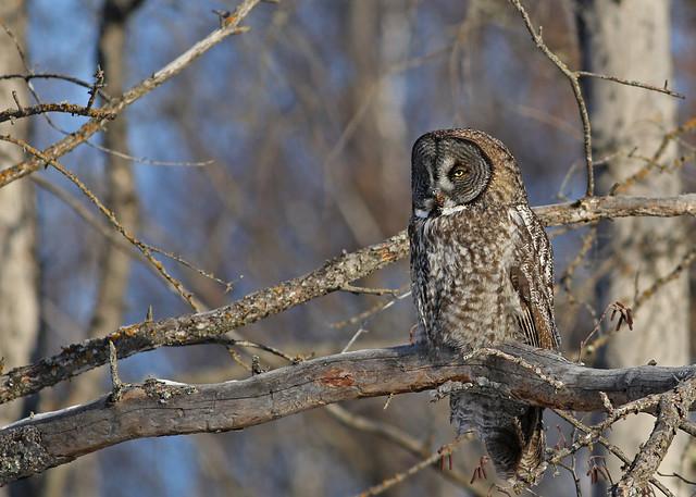 Great Gray Owl...#10