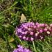 Orchid skipper