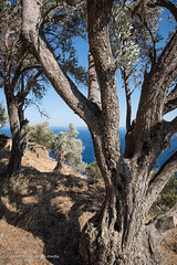 Ικαρία/Ikaria - Olive trees above the south coast