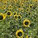 ruth-ellenFlanagan_SunflowersPano