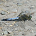 Orthetrum cancellatum - Black-tailed Skimmer (m)